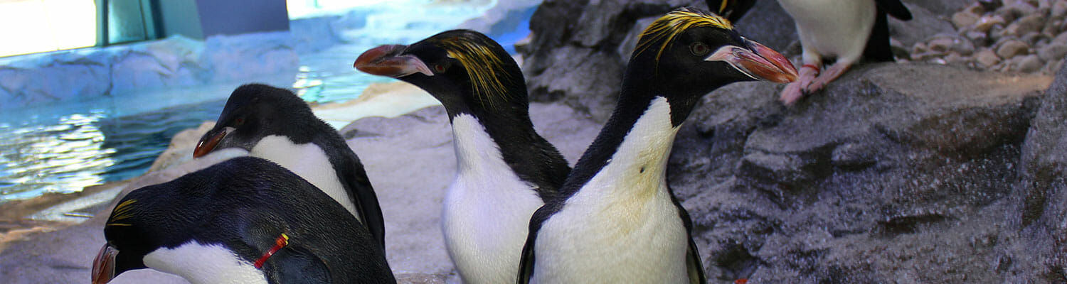Macaroni Penguin - Polk Penguin Conservation Center