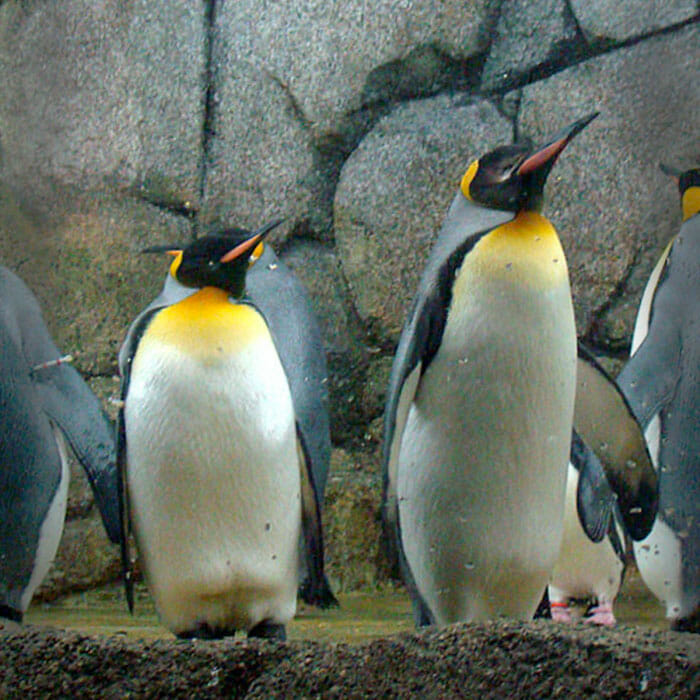 Detroit Zoo - King Penguin