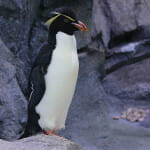 Rockhopper Penguin - Polk Penguin Conservation Center